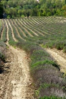 Lavendelfeld in Céreste