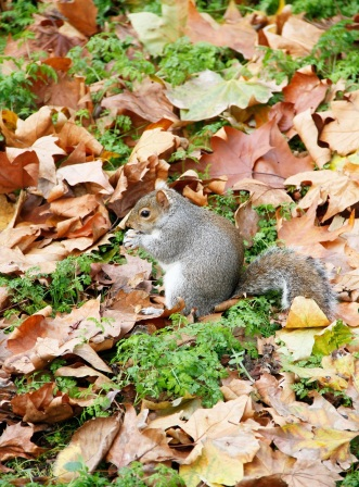 Squirrel @ St. James Park