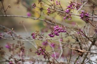 purple plants @ St. James Park